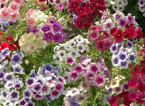 hạt giống hoa thanh trúc