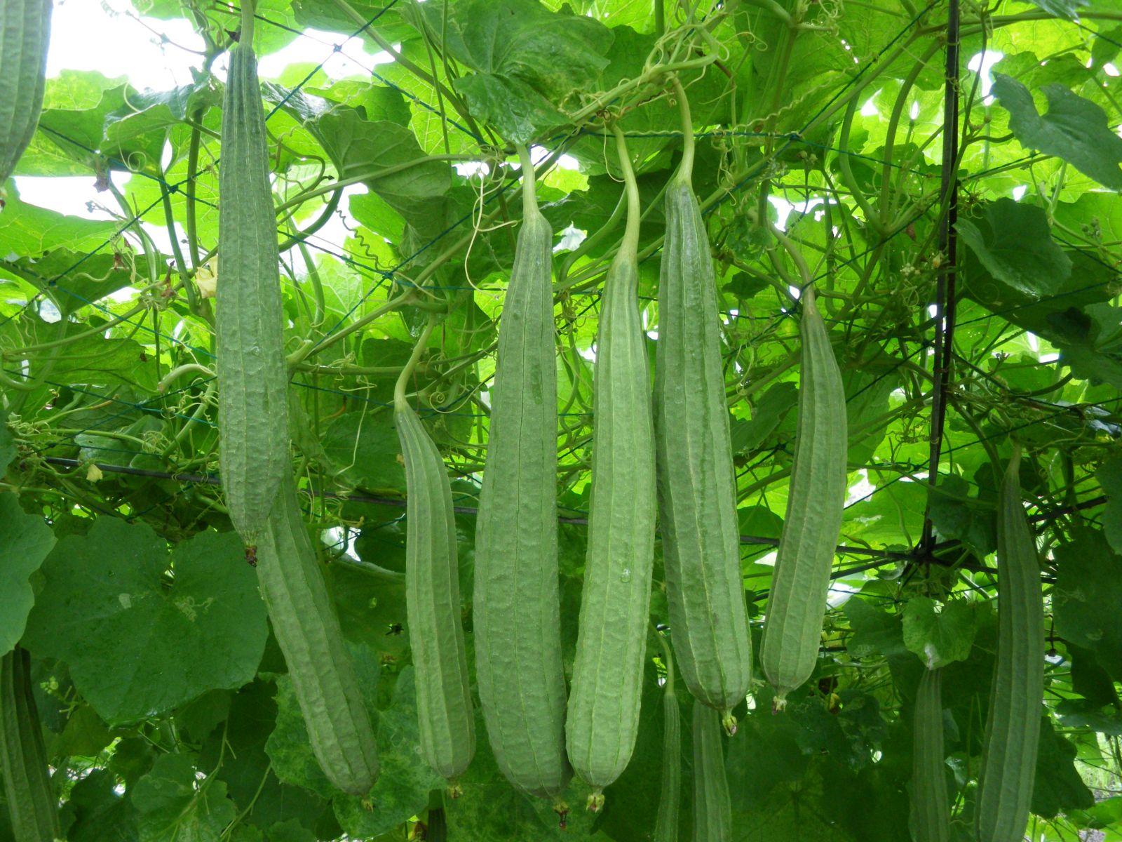 hạt giống mướp hương