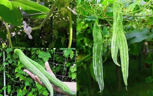 hạt giống lặc lày